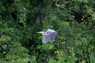 heron-in-flight.jpg