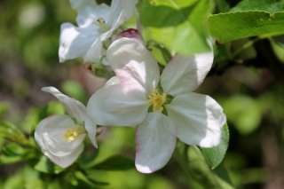 apple-blossum.jpg
