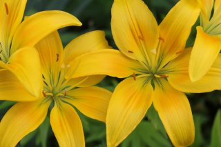 yellow-lillies.JPG